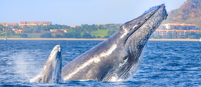 Whale Watching: An amazingly, unexpected reason to visit Puerto Vallarta