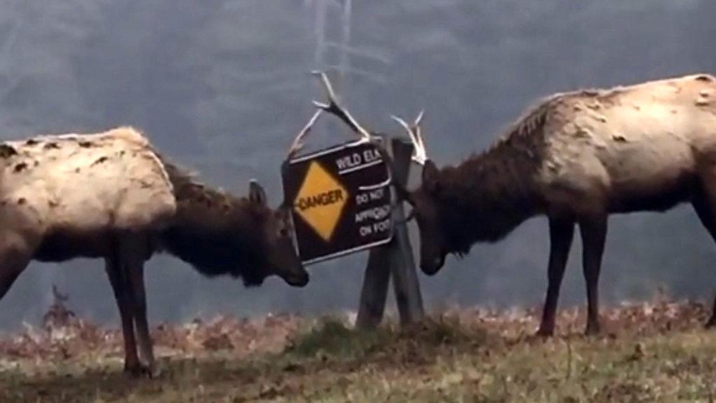 NO BULL: Wild elk demolish sign warning of wild elk