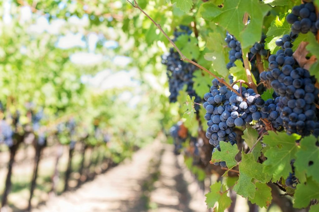 VIRTUAL TASTING FROM THE VINEYARD WITH FORGERON CELLARS