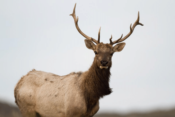 Elk Emergency: NPS Under Fire for Denying Water to Trapped Tule Elk