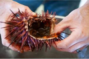 The US' First-Ever Urchin Festival to Take Place in California in November 2021 Purple Sea Urchins and Kelp Take Center Stage on the Mendocino Coast