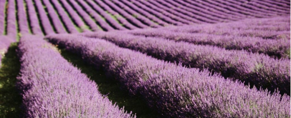 Bleu Lavande the go-to source for pure lavender essential oil for a truly soothing aromatherapy experience
